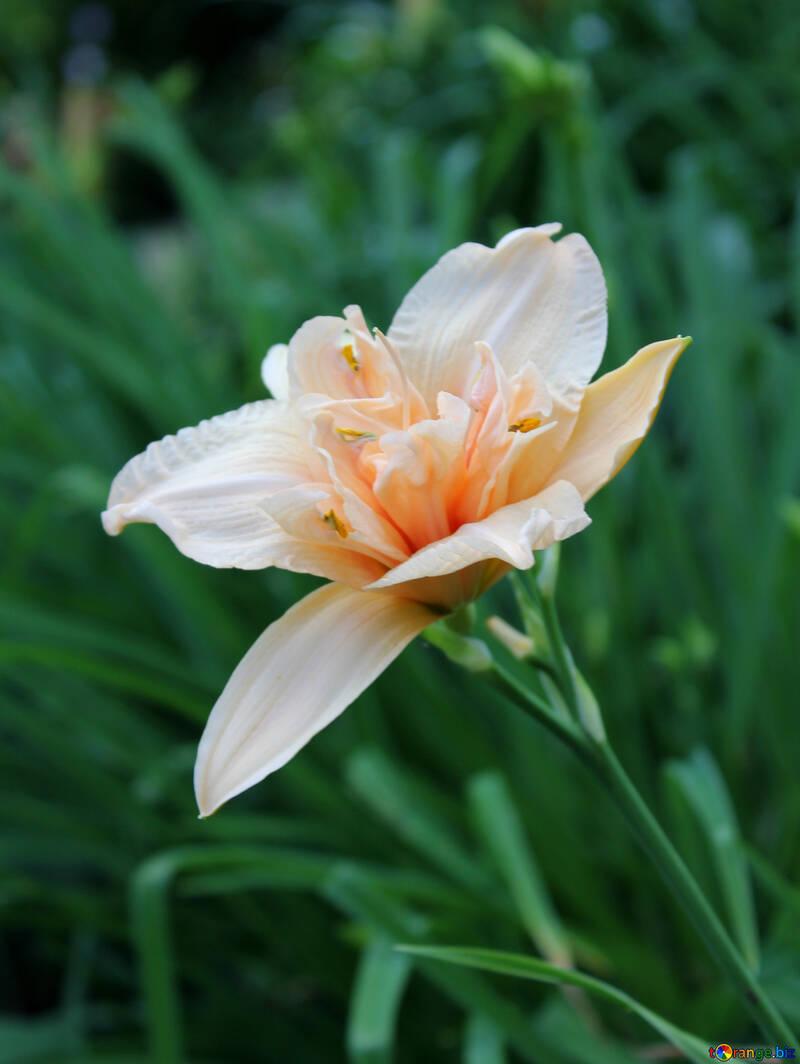 Fluffy lily №20575