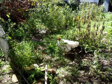 Hens in the garden №21508