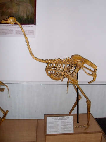 The skeleton of an ostrich №21447