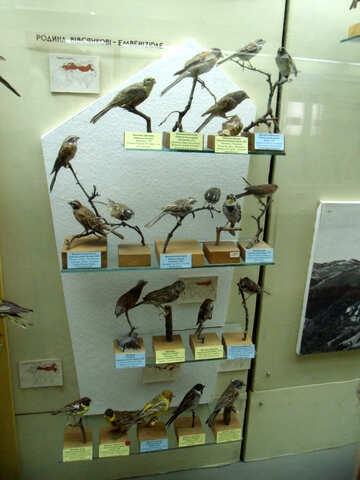 Genus of passerine birds stuffed №21285
