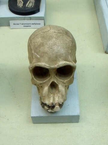 Ancient human skull №21460