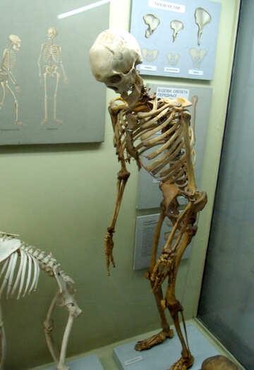 Human Skeleton №21456