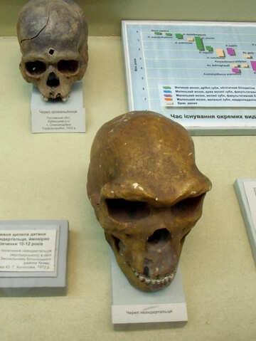 Neanderthal skull №21467