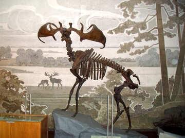 Prehistoric elk skeleton №21471