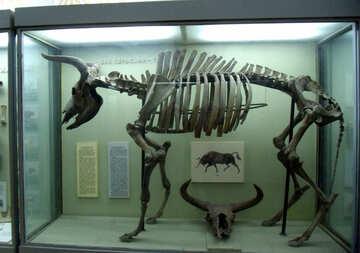 Primeval ox skeleton №21470