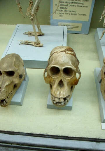 Similar to the human skull №21462