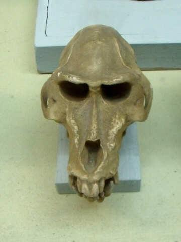 Skull of human ancestor №21461