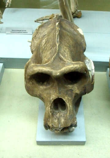 Very ancient human skull №21463