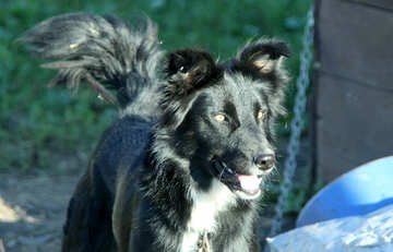 Black Dog №21855
