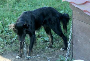 Skinny dog on chain №21851