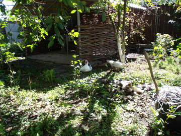 Ducks walking in the vegetable garden №21509