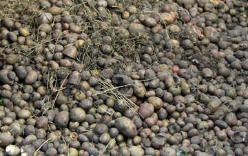 Rotten potatoes №21847