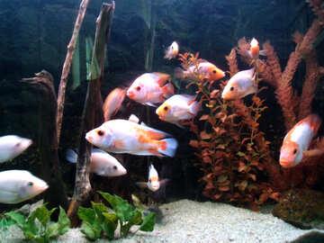 Pesci d`acquario №21442