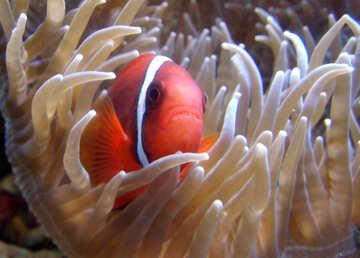 Pesce pagliaccio №21422