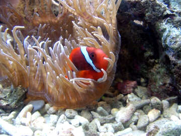 Fish in the sea anemone №21421