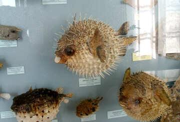Prickly fish №21336