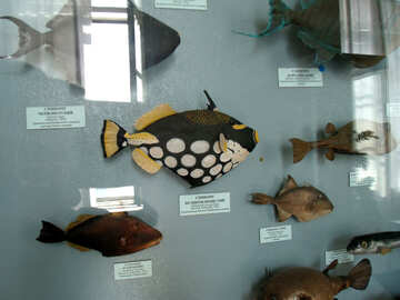 A stuffed fish in the museum №21334