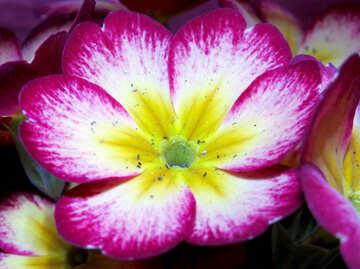 Spring primrose №21267