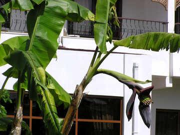 Flowering banana №21663