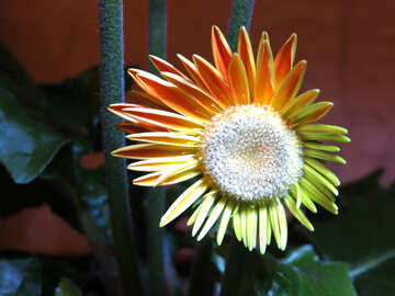 Little gerbera №21250