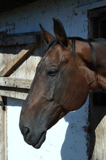 Muso di cavallo №21894