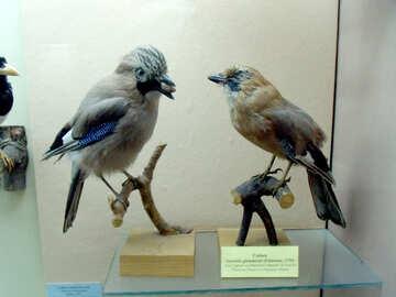Jay bird stuffed №21294