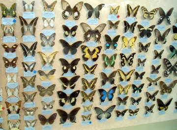 Specie di farfalle №21408