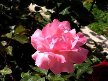 Rose №21755