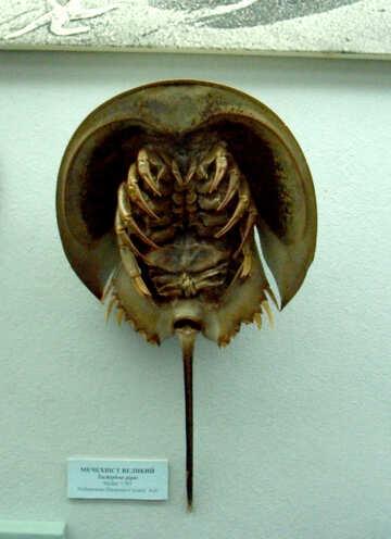 Horseshoe crab №21389