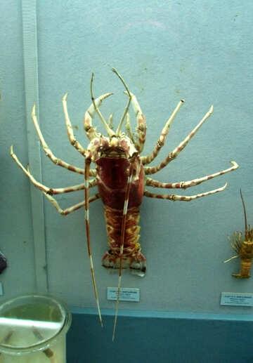 Spiny lobster №21394