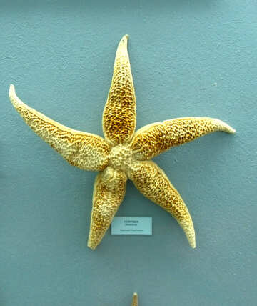 Starfish №21371