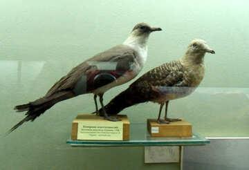 Skua bird effigy №21307