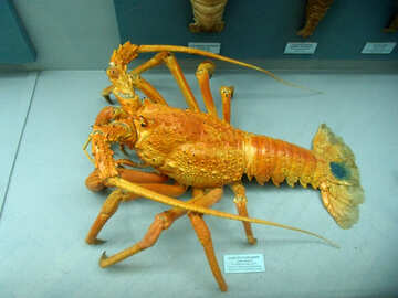 Spiny lobster №21392