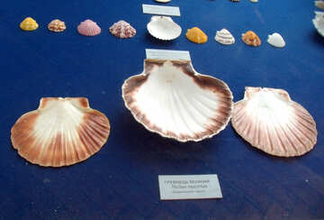 Scallop shell №21327