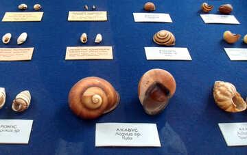 Shells №21355