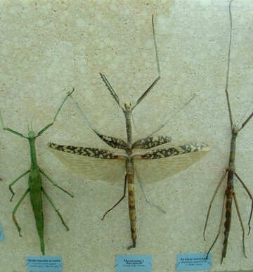 Insect stick insect with wings №21380