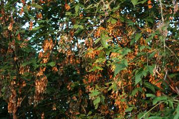 Maple tree №21874