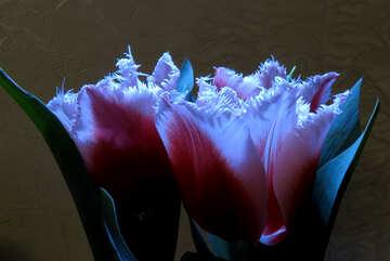 Velvet tulip №21240