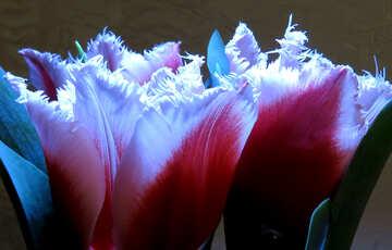 Tulips №21245
