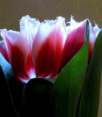 Tulips №21247