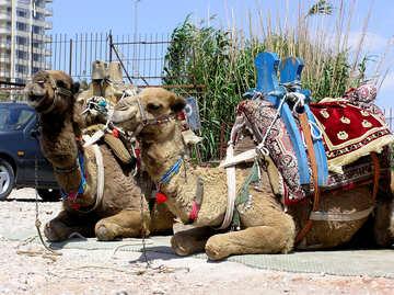 Camel Riding №21030