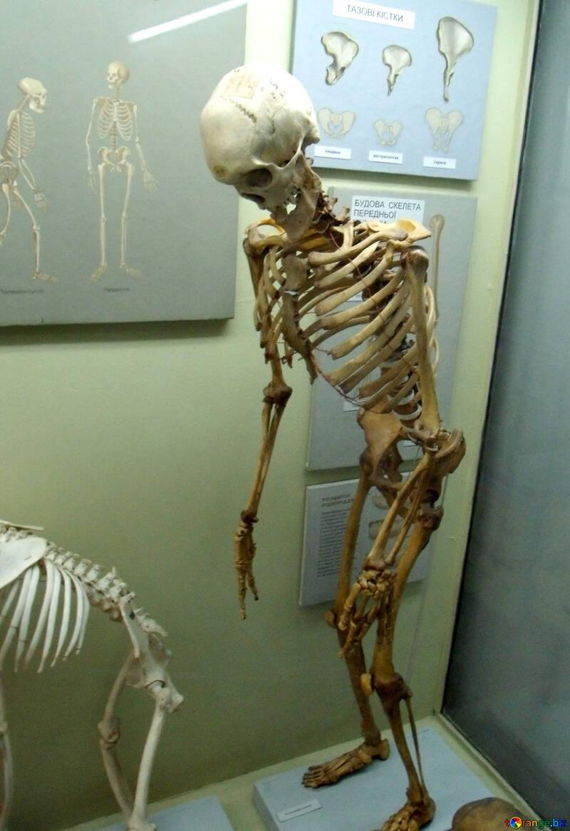 Esqueletos esqueleto humano muerte № 21456