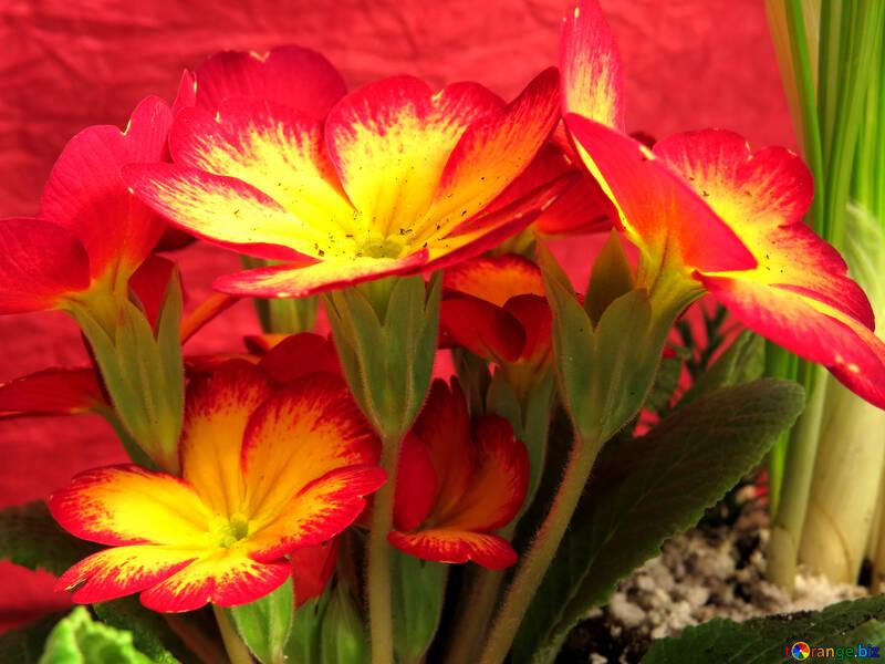 Цветок в горшке на 8 марта  №21270
