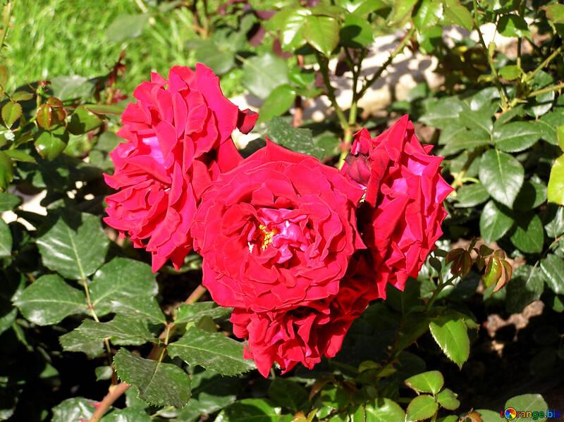 Der Rosenstrauch №21754