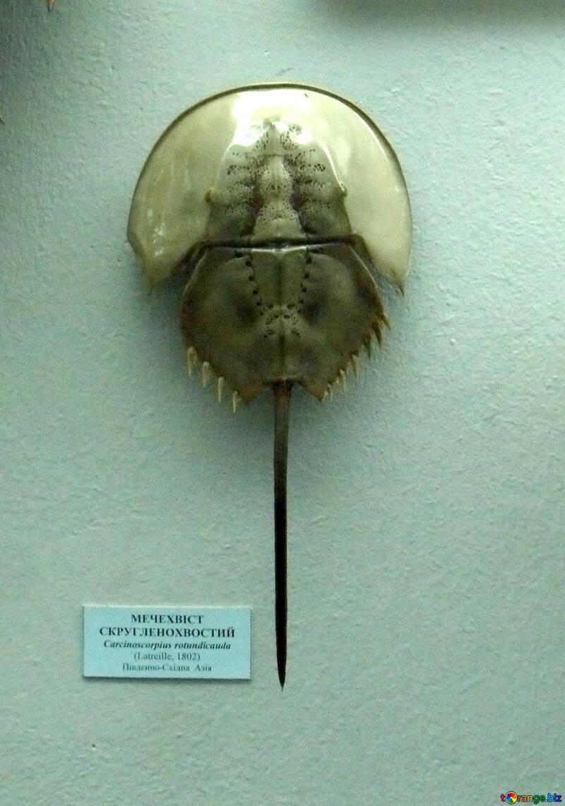 Horseshoe crab №21388