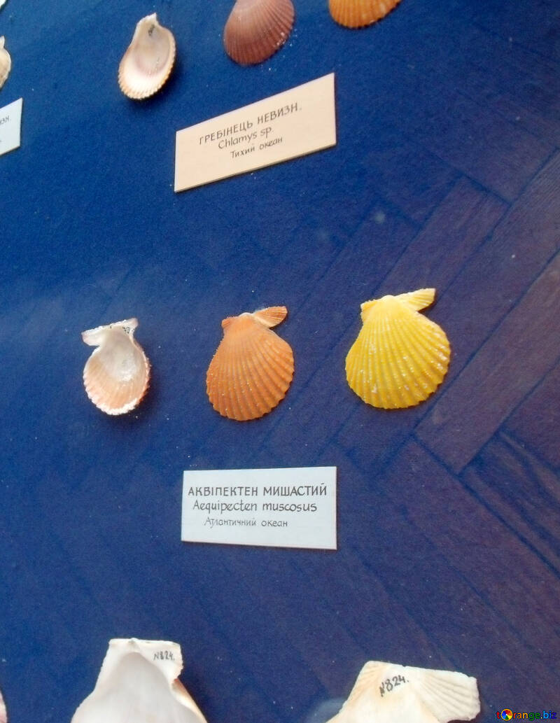 Ocean seashells №21326