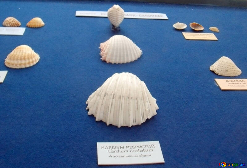 Sea shells from the ocean №21320