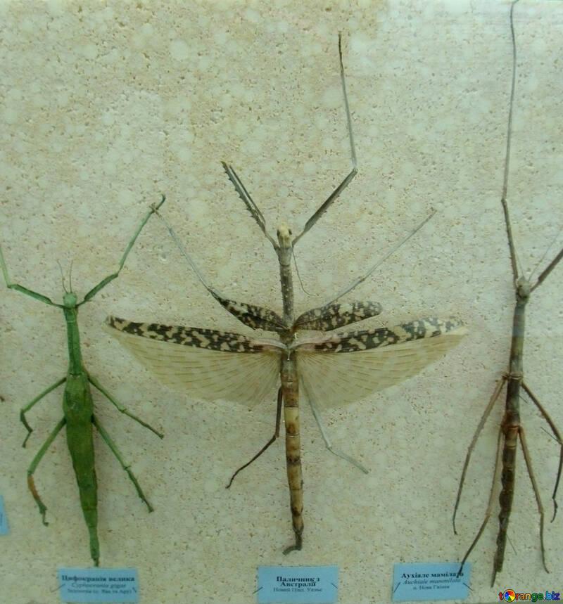 Insetto stecco dell`insetto con le ali №21380