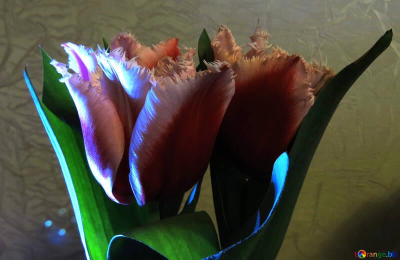 Bright tulips №21243