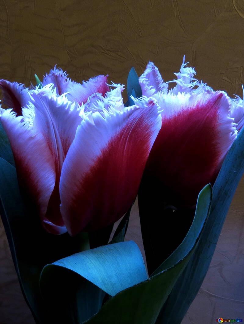 Tulips terry №21242